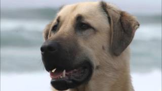 Anatolian Shepherds: Michael Savage on falling in love with the dog breed