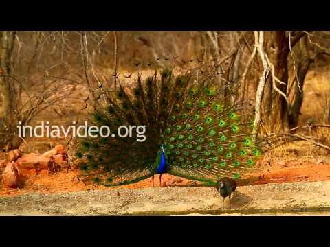 Dancing Peacock, Ranthambore National Park
