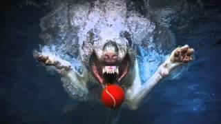 犬の虐待ではありません。 水に飛び込んでオモチャを追いかける犬たちの...