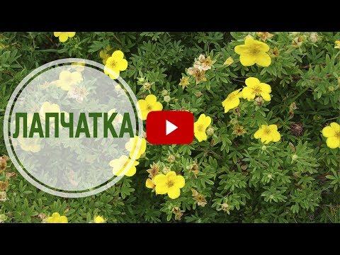Садовые кустарники 🌺 ЛАПЧАТКА 🌺 Видеообзор эксперта hitsadTV