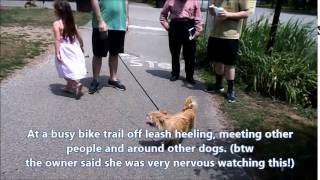 Great Pyrenees Vesper's 2 Wk Board & Train Transformation- Cincinnati Dog Trainers Off Leash K9