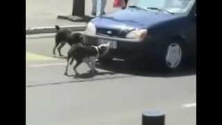Собаки оторвали машине номера