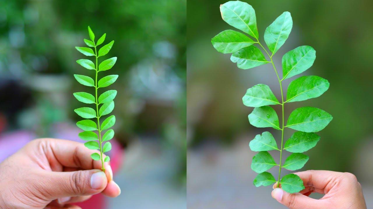 ऐसे पाएं कढ़ी पत्ते के पौधे पर बड़ी और रसीली पत्तियां | Get Big Juicy Leaves From Curry Leaf Plant.