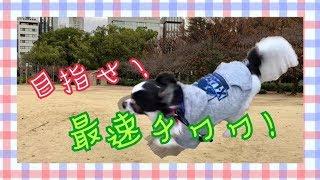 チワワのルナ、1歳3ヶ月。 走りの先生はイタグレのボナさん! 最速チワ...