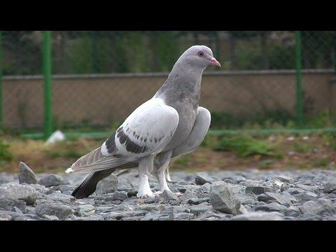 Taklacı Güvercinler 2011