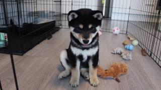 Shiba Inu Puppy 10 Weeks Old
