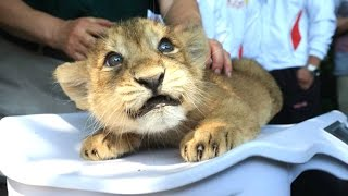 Lion Cubs A Cute And Funny Big Cats Compilation NEW HD