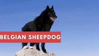 Dogs: Belgian Sheepdog Breed Information And Personality