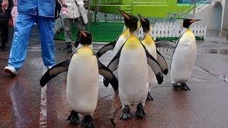 越前松島水族館でオウサマペンギンが散歩 【記事はこちら】http://www.a...