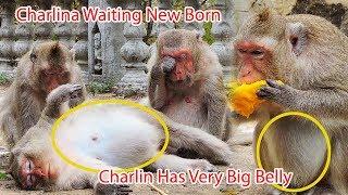 Congratulation Mama Charlina Has Very Big Belly So Chalina Will Give Newborn Baby Soon / PTM 1631