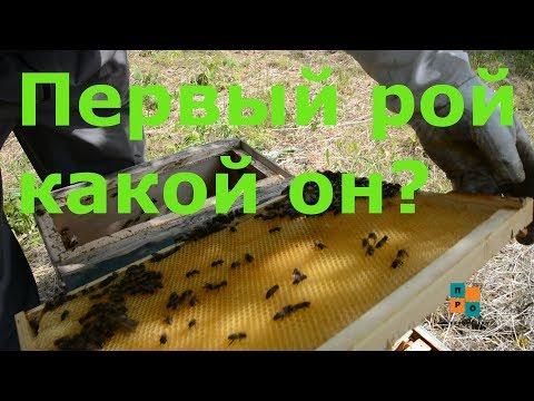 первый рой в ловушке, какой ОН? Как пересадить рой пчел?