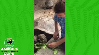 High Fiving a Giant Tortoise | Animals Doing Things Clips