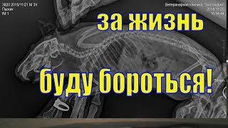 Болезнь морской свинки/ Клок шерсти в горле