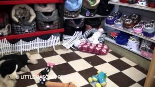 Little Rascals Uk Breeders New Litter Of Maltichons - Puppies For Sale 2016