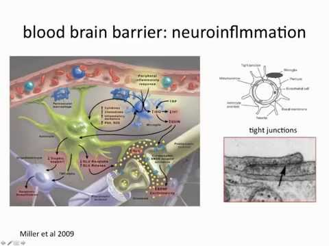 15a. Glia - Psychoneuroimmunology - the basics