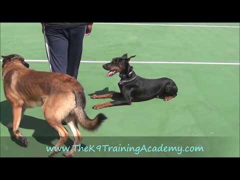 The K9 Training Academy - Doberman