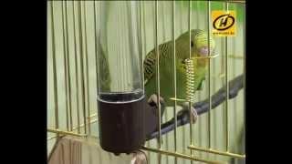Волнистый попугай: смешная птичка, уход