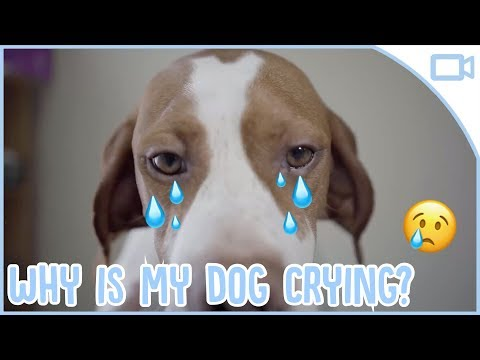 why-do-dogs-cry?