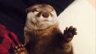 カワウソさくら 寝起きぶさいく!  otter thumbnail