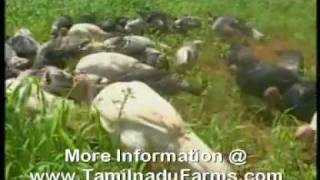 TURKEY FARMING TAMIL NADU