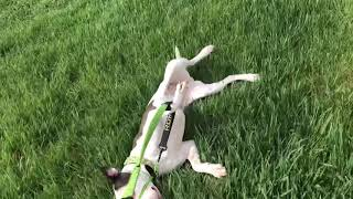 SEPR Phoebe bungee leash