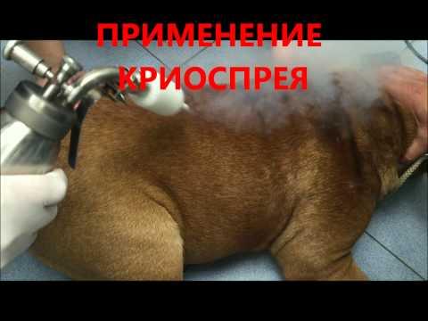 собака 1 год межпальцевый дерматит