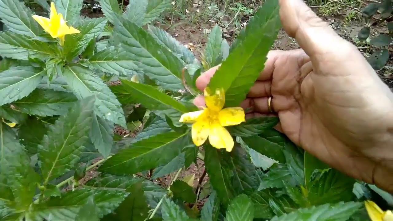 How To Grow Care Turnera Ulmifoliasage Roseyellow Alder Cuban