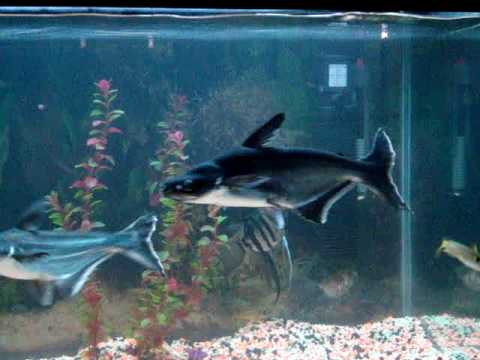 Aquarium id sharks youtube for Shark fish pet