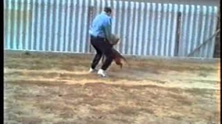 Csibészelés - Dogue De Bordeaux Training In Moloss Kennel.
