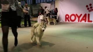 Выставка собак Ставрополь 11.12.2016. хаски суки юниоры