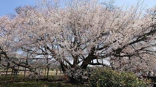 2019 九州日帰りツーリング ~一心行の大桜(熊本県南阿蘇)と よろけるBOL D'OR~ thumbnail