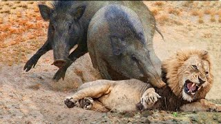 Let's Explore the Animal Planet: Lions vs Warthog | Warthog Fight Lion To Save Another Warthog