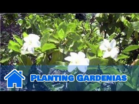 Gardening Tips : Planting Gardenias