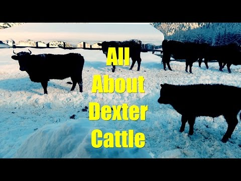 All About Dexter Cattle