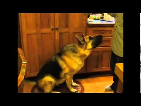 Ultimate Talking Dog   German Shepherd Talks for bacon