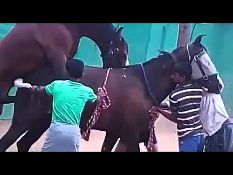 Marwari horse matting Indian breed war horse thumbnail