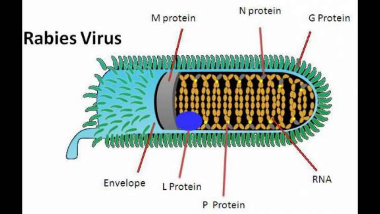 rabies the virus and its mechanisms essay Virus this essay virus and other 63,000+ term a biological gene transport mechanism a virus is only able to infect a limited range of ssrna - rabies.
