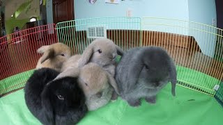 Bunny Update | 6-Week-Old Holland Lop Babies