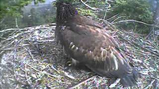 Humboldt Bay eagles,mama delivers a prey & here comes Stormy lol,7/27/13