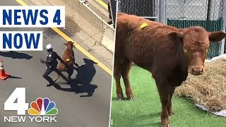 Cow Escapes Slaughterhouse, Runs on NYC's Major Deegan Expressway | News 4 Now