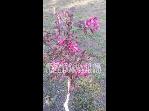 Посадка яблони Ред Кетти. rozapochtoi.ru   посадить   посадка   яблоня   яблоню   яблони   весной   rozapochtoi   кетти   весна   саду