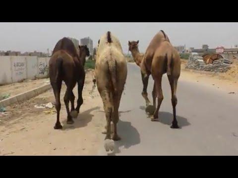 Big Heavy Camels || Black/White Camels || Camel Rates || Ount Mandi Karachi || Mandi Videos