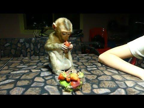 Baby Monkey Dodo Enjoy To Get Much Strawberry