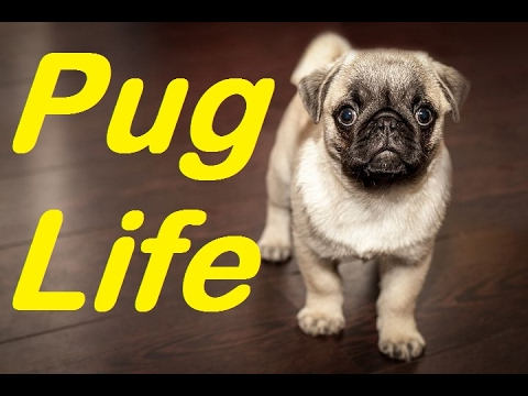 Top 10 AMAZING Facts about Pugs | Are pugs good dogs? | 2017 | TheCoolFactShow EP34