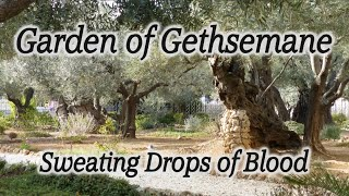"Garden of Gethsemane: ""Sweating Drops of Blood"" -  HolyLandSite.com"