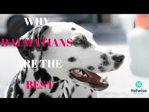 Why Dalmatians Are The Best!
