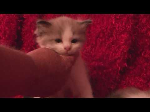 Breeder Ragdoll Kittens July 17, 2017- A Ragdoll To Love Cattery