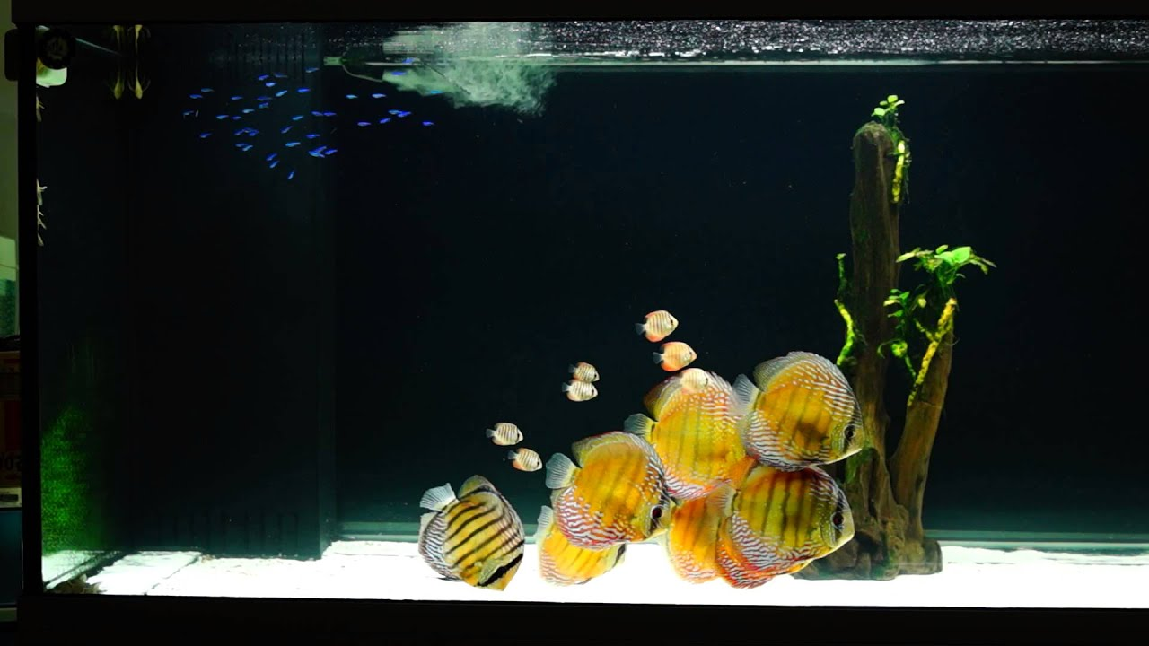 Fish Tank Wallpaper Hd Wild Discus Tank Youtube