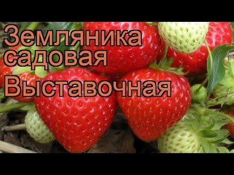 Земляника садовая Выставочная (fragaria ananassa) 🌿 обзор: как сажать, рассада земляники Выставочная