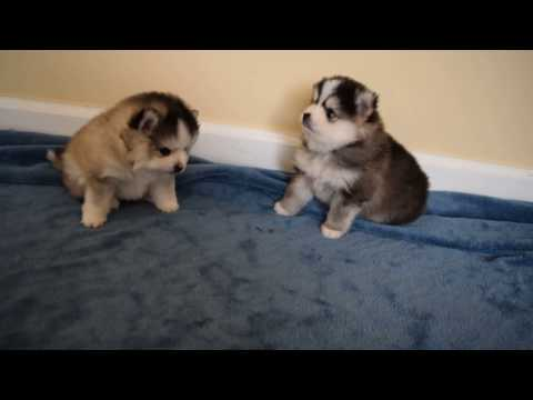 Mini Pomskies Playing